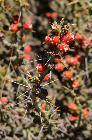 Thorny Bush at Phoenix Sonoran Preserve