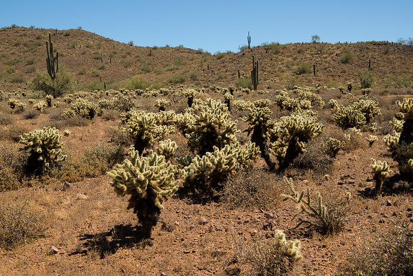 Cacti in the Sonoran Desert near Phoenix, Arizona