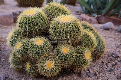 Golden Barrel Cactus Cluster