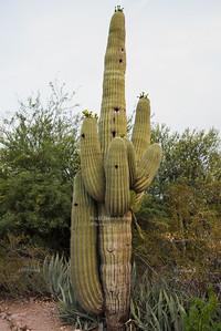 Big fat old, old Saguaro