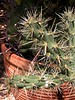 Chollo cactus.<br /> <br /> Chollo sounds like Choy-yo.<br /> <br /> --- 5655_CRW_01a ---