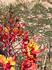 Mexican Bird of Paradise<br /> <br /> --- 5653_CRW_01a ---