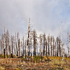 Fire damaged birch trees, Route 67 close to Jacob Lake, Kaibab Plateau, Arizona