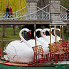 Swan boats in Boston Common.
