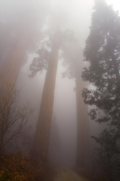 sequoias in mist, Sequoia National Park, CA