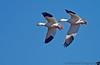 November 30, 2012 - Snow geese pair at Sacramento NWR