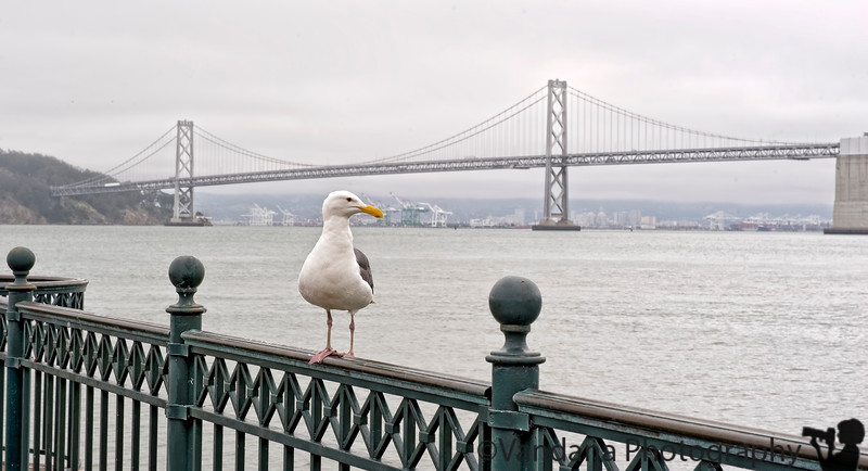 July 16, 2011 - The gull and the bay bridge, San Francisco<br /> <br /> trying to catch up with the dailies. processing shots slowly from the California trip. thanks for all the comments. Will try to check out all your dailies soon !