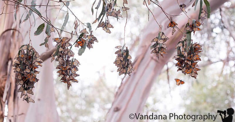 January 17, 2016 - Pismo beach Monarch butterfly grove<br /> <br /> such an amazing sight to see the Monarch butterfly migration ! overwhelmed !