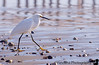 January 22, 2016 - Snowy egret
