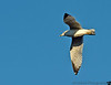 November 10, 2012 - Seagull in flight