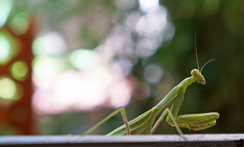 October 6, 2012 - A visit from a Praying Mantis