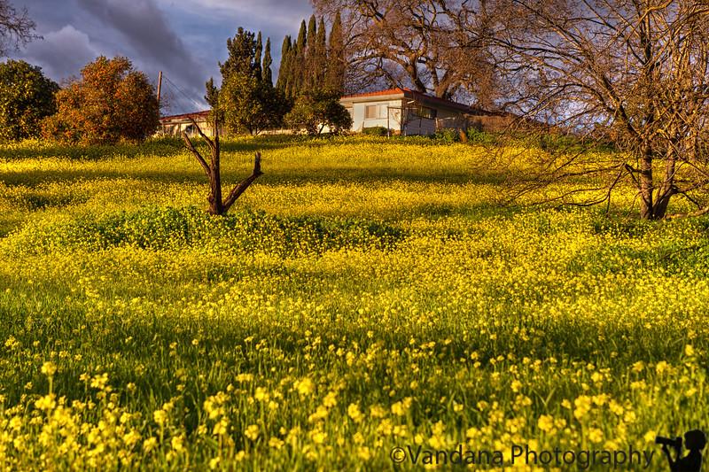 February 4, 2016 - Mustard flowers in bloom ! Spring is here !