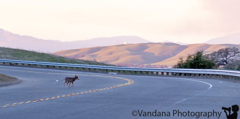 January 28, 2015 - Coyote crossing ! <br /> <br /> seen on a recent walk with Arjun - We saw about 9 deers, 2 coyotes, 1 hawk on our little walk ! Crystyl Ranch is teeming with wildlife !