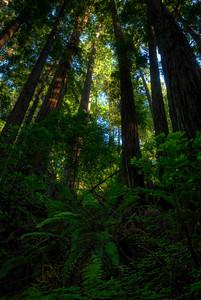 © Joseph Dougherty. All rights reserved.   Coastal redwood forest