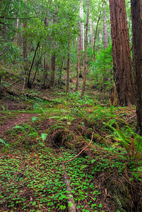 © Joseph Dougherty. All rights reserved.   Coastal redwood forest understory plants