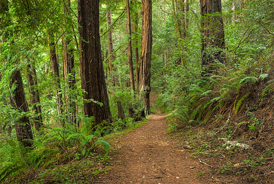 © Joseph Dougherty. All rights reserved.   Coastal redwood forest trail