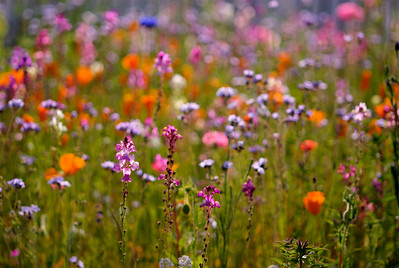 © Joseph Dougherty. All rights reserved.  Poppies, snapdragons, toadflax, bachelor's buttons, Bird's eye Gilia, and a variety of other flowers make this display a riotous mix of color.