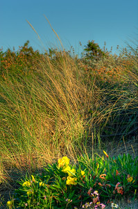 © Joseph Dougherty. All rights reserved.  Dune grass and Evening Primrose.
