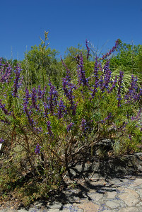 © Joseph Dougherty. All rights reserved.   Trichostema lanatum  Woolly Blue Curls   Cleveland National Forest, San Diego Co., CA