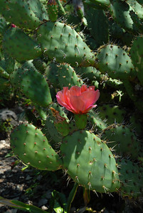© Joseph Dougherty. All rights reserved.   Opuntia Littoralis var. vaseyi  Salmon-flowered Prickly Pear   Big Tujunga Wash, Los Angeles Co., CA
