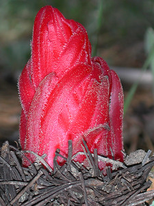 © Joseph Dougherty. All rights reserved.   Sarcodes sanguinea  Torr. Snow Plant aka Snow Flower  The plant's above ground tissue is its inflorescence, a raceme of bright scarlet red flowers wrapped in many straplike, pointed bracts with fringed edges, themselves bright red to orange in color.