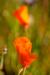 © Joseph Dougherty. All rights reserved.  Eschscholzia californica Cham. California Poppy  The California poppy is a perennial and annual plant, native to the United States, and the official state flower of California. It can grow 5–60 cm tall, with alternately branching glaucous blue-green foliage. The leaves are ternately divided into round, lobed segments. The flowers are solitary on long stems, silky-textured, with four petals, each petal 2–6 cm long and broad; their color ranges from yellow to orange, and flowering is from February to September. The petals close at night or in cold, windy weather and open again the following morning, although they may remain closed in cloudy weather. The fruit is a slender, dehiscent capsule 3–9 cm long, which splits in two to release the numerous small black or dark brown seeds. It is perennial in mild parts of its native range, and annual in colder climates; growth is best in full sun and sandy, well-drained, poor soil.  Taxonomy: The species is highly variable, and over 90 synonyms exist. Some botanists accept two subspecies — one with four varieties (e.g., Leger and Rice, 2003) — though others do not recognise them as distinct (e.g., Jepson 1993): -   E. californica ssp. californica, native to California, Baja California, and Oregon, widely planted as an ornamental, and an invasive elsewhere. -   E. californica ssp. californica var. californica, which is found along the coast from the San Francisco Peninsula north. They are perennial and somewhat prostrate, with yellow flowers. -   E. californica ssp. californica var. maritima (E. L. Greene) Jeps., which is found along the coast from Monterey south to San Miguel Island. They are perennial, long-lived, glaucous, short in stature, and have extremely prostrate growth and yellow flowers. -  E. californica ssp. californica var. crocea (Benth.) Jeps., which grows in non-arid inland regions. They are perennial, taller, and have orange flowers. -  E. California ssp. californica var. peninsularis (E. L. Greene) Munz, which is an annual or facultative annual growing in arid inland environments. -  E. californica ssp. mexicana (E. L. Greene) C. Clark, the Mexican Gold Poppy, which is found in the Sonoran Desert.