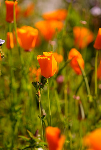 "© Joseph Dougherty. All rights reserved.  Eschscholzia californica Cham. California Poppy  The California poppy is a perennial and annual plant, native to the United States, and the official state flower of California, where April 6 is designated California Poppy Day. It can grow 5–60 cm tall, with alternately branching glaucous blue-green foliage. The leaves are ternately divided into round, lobed segments. The flowers are solitary on long stems, silky-textured, with four petals, each petal 2–6 cm long and broad; their color ranges from yellow to orange, and flowering is from February to September. The petals close at night or in cold, windy weather and open again the following morning, although they may remain closed in cloudy weather. The fruit is a slender, dehiscent capsule 3–9 cm long, which splits in two to release the numerous small black or dark brown seeds. It is perennial in mild parts of its native range, and annual in colder climates; growth is best in full sun and sandy, well-drained, poor soil.  Medicinal Uses:   California poppy leaves were used medicinally by Native Americans, and the pollen was used cosmetically. The seeds are used in cooking.  Aqueous extract has sedative and anxiolytic action (Rolland et. al. 1991).  Extract from the California poppy acts as a mild sedative when smoked. The effect is far milder than that of opium. California poppy contains a different class of benzophenanthridine alkaloids (Klvana et. al. 2006; MacLeod and Facchini 2006).      ""An aqueous alcohol extract of Eschscholzia californica has been evaluated for benzodiazepine, neuroleptic, antidepressant, antihistaminic and analgesic properties. The plant extract did not protect mice against the convulsant effects of pentylenetetrazol, and did not cause muscle relaxant effects, but appeared to possess an affinity for the benzodiazepine receptor. The extract induced peripheral analgesic effects in mice but did not possess antidepressant, neuroleptic or antihistaminic effects."" (Rolland et. al 2001)"