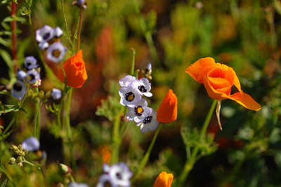 © Joseph Dougherty. All rights reserved.  Gilia tricolor Benth.  and  Eschscholzia californica Cham.  Bird's Eye Gilia and California Poppies.