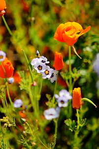 © Joseph Dougherty. All rights reserved.  Gilia tricolor Benth.  and  Eschscholzia californica Cham.  California Golden Poppy and Bird's Eye Gilia.