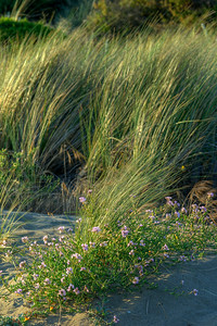 © Joseph Dougherty. All rights reserved.  Beach Dune Grass and Searocket.