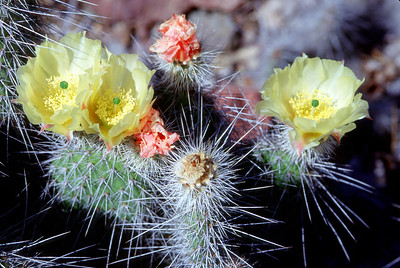 © Joseph Dougherty. All rights reserved.   Opuntia polyacantha Haw. var. erinacea (Engelm. & J.M. Bigelow ex Engelm.) Parfitt   Common names: Grizzlybear Pricklypear, Grizzly Bear Cactus  Habitat: Gravelly rocky soil under dry conditions in creosote bush scrub, pinyon-juniper and joshua tree woodland, chaparral and yellow pine forest at elevations of 800 - 2800 meter.   In additional to the large and imposing guard spines, the plant has numerous minutely barbed glochids (hairs) that are easily dislodged when the plant is touched and they then become stuck to the skin where they are difficult to see and remove. They can cause considerable discomfort. Both the pads and fruits are edible if properly prepared.   Synonyms: -   Opuntia erinacea Engelm. & J.M. Bigelow ex Engelm. 	   - 	Opuntia erinacea Engelm. & J.M. Bigelow ex Engelm. var. erinacea 	   -	Opuntia ursina F.A.C. Weber