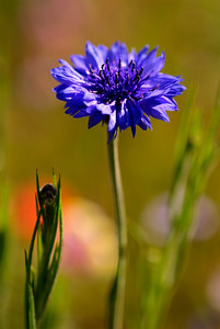 "© Joseph Dougherty. All rights reserved.  Centaurea cyanus   L. Cornflower aka Bachelor's button, Bluebottle, Boutonniere flower, Hurtsickle, Cyani flower  Centaurea cyanus is a small annual flowering plant in the family Asteraceae, native to Europe. ""Cornflower"" is also erroneously used for chicory, and more correctly for a few other Centaurea species; to distinguish C. cyanus from these it is sometimes called Common Cornflower. It may also be referred to as basketflower, though the term properly refers to the Plectocephalus group of Centaurea, which is probably a distinct genus.  It is an annual plant growing to 16-35 inches tall, with grey-green branched stems. The leaves are lanceolate, 1–4 cm long. The flowers are most commonly an intense blue colour, produced in flowerheads (capitula) 1.5–3 cm diameter, with a ring of a few large, spreading ray florets surrounding a central cluster of disc florets. The blue pigment is protocyanin, which in roses is red.  In the past it often grew as a weed in crop fields, hence its name (fields growing grains such as wheat, barley, rye, or oats are sometimes known as corn fields in the UK). It is now endangered in its native habitat by agricultural intensification, particularly over-use of herbicides, destroying its habitat; in the United Kingdom it has declined from 264 sites to just 3 sites in the last 50 years. In reaction to this, the conservation charity Plantlife named it as one of 101 species it would actively work to bring 'Back from the Brink'.  It is also, however, through introduction as an ornamental plant in gardens and a seed contaminant in crop seeds, now naturalised in many other parts of the world, including North America and parts of Australia."