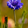 "© Joseph Dougherty. All rights reserved.  <font size=5><i>Centaurea cyanus</i> </font>  L. <font size=5>Cornflower</font> aka Bachelor's button, Bluebottle, Boutonniere flower, Hurtsickle, Cyani flower  <i>Centaurea cyanus</i> is a small annual flowering plant in the family Asteraceae, native to Europe. ""Cornflower"" is also erroneously used for chicory, and more correctly for a few other Centaurea species; to distinguish C. cyanus from these it is sometimes called Common Cornflower. It may also be referred to as basketflower, though the term properly refers to the Plectocephalus group of Centaurea, which is probably a distinct genus.  It is an annual plant growing to 16-35 inches tall, with grey-green branched stems. The leaves are lanceolate, 1–4 cm long. The flowers are most commonly an intense blue colour, produced in flowerheads (capitula) 1.5–3 cm diameter, with a ring of a few large, spreading ray florets surrounding a central cluster of disc florets. The blue pigment is protocyanin, which in roses is red.  In the past it often grew as a weed in crop fields, hence its name (fields growing grains such as wheat, barley, rye, or oats are sometimes known as corn fields in the UK). It is now endangered in its native habitat by agricultural intensification, particularly over-use of herbicides, destroying its habitat; in the United Kingdom it has declined from 264 sites to just 3 sites in the last 50 years. In reaction to this, the conservation charity Plantlife named it as one of 101 species it would actively work to bring 'Back from the Brink'.  It is also, however, through introduction as an ornamental plant in gardens and a seed contaminant in crop seeds, now naturalised in many other parts of the world, including North America and parts of Australia."