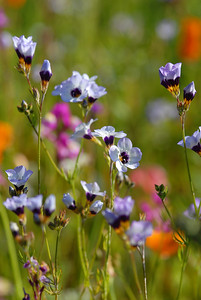 © Joseph Dougherty. All rights reserved.  Gilia tricolor Benth.  Common name: Birds Eyes, Bird's Eye Gilia  Bird's Eye Gilia is an annual plant native to the Central Valley and foothills of the Sierra Nevada and Coast Ranges in California.