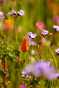 © Joseph Dougherty. All rights reserved.  Gilia tricolor Benth.  and  Eschscholzia californica Cham.  Bird's Eye Gilia and a California Poppy.