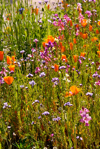© Joseph Dougherty. All rights reserved.  Poppies, snapdragons, bachelor's buttons, Bird's eye Gilia, and a variety of other flowers may this display a riotous mix of color.