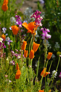 © Joseph Dougherty. All rights reserved.  Eschscholzia californica   and  Linaria bipartita   California Golden Poppy and Clovenlip Toadflax.  Linaria bipartita is a species of flowering plant in the plantain family known by the common name clovenlip toadflax. It is native to Morocco, but it can be found elsewhere as an introduced species and it is cultivated as an ornamental plant. It is an annual herb growing 10 to 30 centimeters tall with linear leaves 3 to 5 centimeters in length. The inflorescence is a raceme of flowers occupying the top of the stem. The flower is about 2 centimeters long with five lobes arranged into two lips with a spur at the end. The flower is often reddish purple in color, but flowers of many different colors are bred for the garden. The fruit is a spherical capsule about 2 millimeters wide.