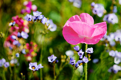 © Joseph Dougherty. All rights reserved.  Bird's Eye Gilia with Pink Poppy.