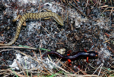 © Joseph Dougherty. All rights reserved.    Elgaria coerulea ssp. coerulea   (Wiegmann, 1828)  San Francisco Alligator Lizard   A San Francisco Alligator Lizard (Elgaria coerulea ssp. coerulea [Wiegmann, 1828]) and an Ensatina salamander (Ensatina eschscholtzii Gray, 1850) , found under an old board near San Pablo Reservoir in Contra Costa County.