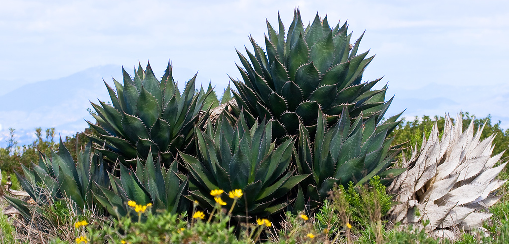 Yucca plants at Point Loma, San Diego.