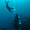 © Joseph W. Dougherty. All rights reserved.  California sea lions playing with a diver underwater.  Anacapa Island, Channel Islands, CA.