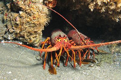 © Joseph Dougherty. All rights reserved.    Panulirus interruptus  (J. W. Randall, 1840) California Spiny Lobster  Anacapa Island, Channel Islands National Park, CA.