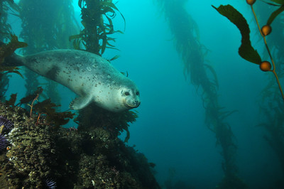 © Joseph W. Dougherty. All rights reserved.   Phoca vitulina    Linnaeus, 1758 Harbor Seal   Harbor seal swimming through the giant kelp forest.     Anacapa Island, Channel Islands National Park, CA.