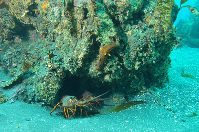 © Joseph W. Dougherty. All rights reserved.    Panulirus interruptus  (J. W. Randall, 1840) California Spiny Lobster  California lobster hiding beneath a rock in the kelp forest.    Anacapa Island, Channel Islands National Park, CA.