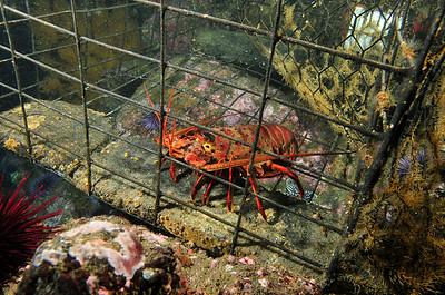 © Joseph W. Dougherty. All rights reserved.    Panulirus interruptus  (J. W. Randall, 1840) California Spiny Lobster   Anacapa Island, Channel Islands, CA.
