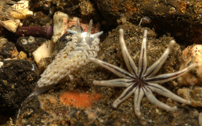 © Joseph Dougherty. All rights reserved.    Aeolidia papillosa  (Linnaeus, 1761) Shaggy Mouse Nudibranch  This nudibranch species lives on the Atlantic coast of The British Isles and Northern Europe, the Atlantic coast of North America, and the Pacific Coast of North America. It also appears to occur on the west and east coast of South America.