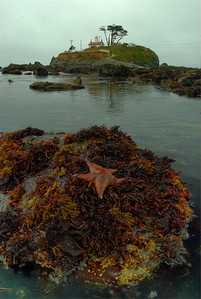 © Joseph Dougherty. All rights reserved.  Seastars on rocks at low tide, in the shallows below the Crescent City lighthouse.