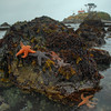 © Joseph Dougherty. All rights reserved.<br /> <br /> Seastars on rocks at low tide, in the shallows below the Crescent City lighthouse.