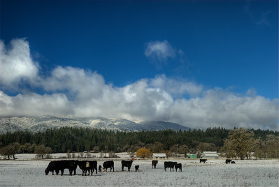 © Joseph Dougherty. All rights reserved.  Cattle confused by low elevation snowfall.  Near Laytonville, CA.