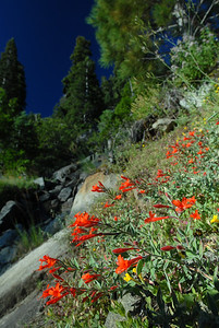 © Joseph W. Dougherty. All rights reserved.   Epilobium canum  (Greene) P.H.Raven California Fuchsia, Hummingbird Trumpet, Firechalice  Synonyms: - Zauschneria californica - Zauschneria cana  Epilobium canum, known as Zauschneria, is a species of willowherb, native to dry slopes and in chaparral of western North America, especially California. It is a perennial plant, notable for the profusion of bright scarlet flowers in late summer and autumn.  The name reflects that in the past it used to be treated in a distinct genus Zauschneria, but modern studies have shown that it is best placed within the genus Epilobium. Other common names include California-fuchsia (from the resemblance of the flowers to those of Fuchsias), Hummingbird Flower or Hummingbird Trumpet (the flowers are very attractive to hummingbirds), and Firechalice.  The plant is named after Johann Baptista Josef Zauschner (1737–1799), a professor of medicine and botany in Prague.